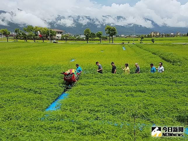 礁溪鄉玉田社區以休耕稻田種植的綠肥「田菁」規劃成迷宮,要讓遊客體驗不一樣的農村風情